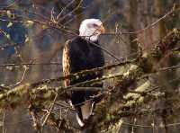 Bald Eagle, Squamish, British Columbia, Canada 15