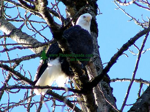 Bald Eagle, Squamish, British Columbia, Canada 14