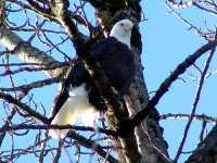 Bald Eagle, Squamish, British Columbia, Canada 14