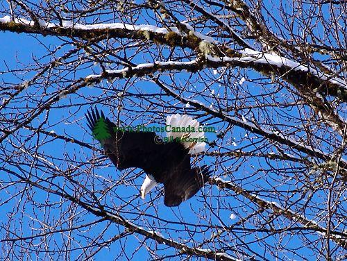 Bald Eagle, Squamish, British Columbia, Canada 13
