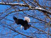 Bald Eagle, Squamish, British Columbia, Canada 13