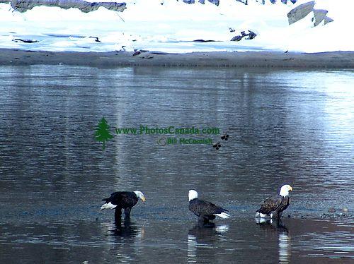 Bald Eagle, Squamish, British Columbia, Canada 12