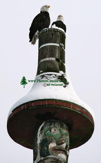 Bald Eagles, Vancouver, British Columbia, Canada CM11-23