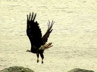 Bald Eagle, Squamish, British Columbia, Canada 02