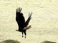 Bald Eagle, Squamish, British Columbia, Canada 02