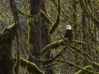 Eagle, Squamish Valley, British Columbia, Canada 21