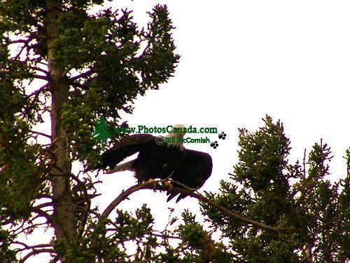 Bald Eagle, Squamish, British Columbia, Canada 01