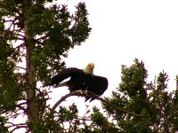 Bald Eagle, Squamish, British Columbia, Canada 01