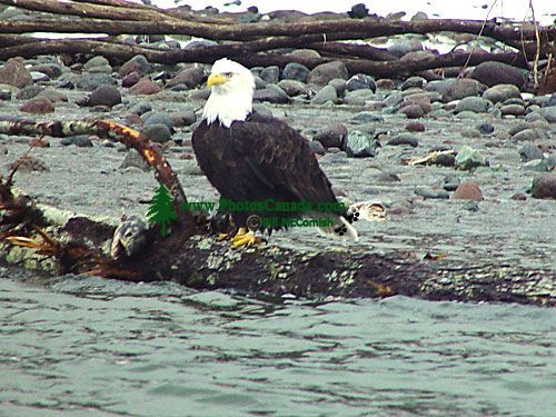 Bald Eagle, Squamish, British Columbia, Canada 22