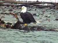 Bald Eagle, Squamish, British Columbia, Canada 22