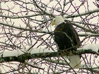 Bald Eagle, Squamish, British Columbia, Canada 09