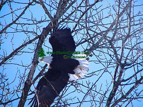 Bald Eagle, Squamish, British Columbia, Canada 07