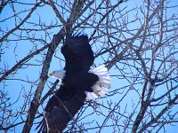 Bald Eagle, Squamish, British Columbia, Canada 07