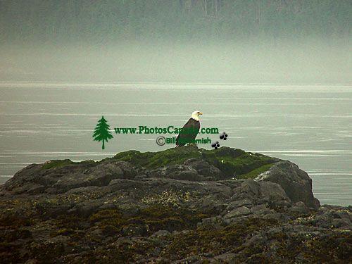 Bald Eagle, Squamish, British Columbia, Canada 10