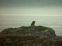 Bald Eagle, Squamish, British Columbia, Canada 10