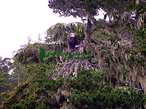 Bald Eagle, Squamish, British Columbia, Canada 05