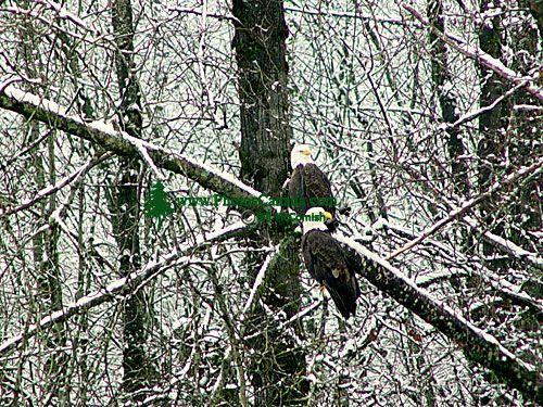 Bald Eagle, Squamish, British Columbia, Canada 04
