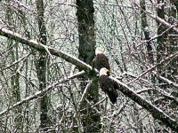 Bald Eagle, Squamish, British Columbia, Canada 04