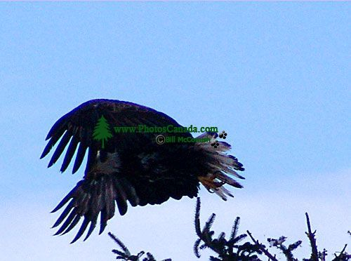 Bald Eagle, Squamish, British Columbia, Canada 03