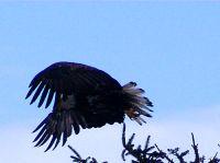 Bald Eagle, Squamish, British Columbia, Canada 03