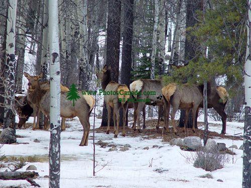 Elk Herd 07