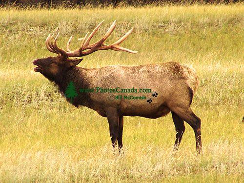Bull Elk 01