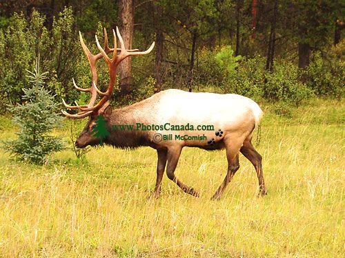 Bull Elk 02