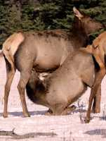 Elk Calf and Mother, CM11-14