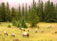 Elk Herd 06