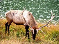 Bull Elk 04