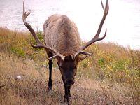 Bull Elk 05
