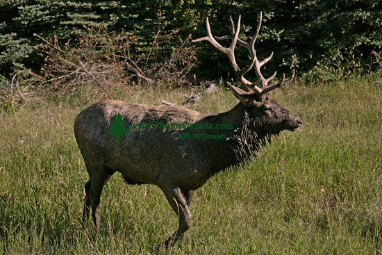 Bull Elk, Jasper National Park CM11-01