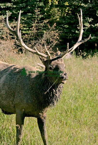 Bull Elk, Jasper National Park CM11-02