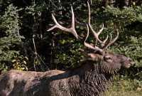 Bull Elk, Jasper National Park CM11-03