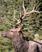 Highlight for Album: Elk Photos 2009, Jasper National Park, Canadian Wildlife Stock Photos