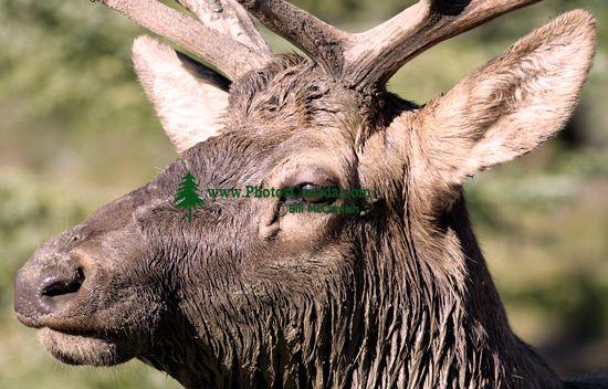 Bull Elk, Jasper National Park CM11-05