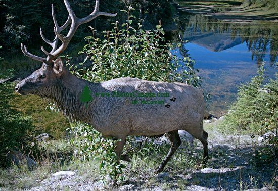 Bull Elk, Jasper National Park CM11-06