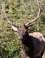 Bull Elk, Jasper National Park CM11-07