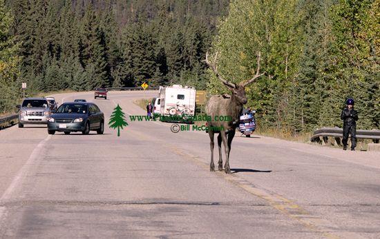 Bull Elk, Jasper National Park CM11-08