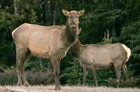 Elk, Jasper National Park CM11-09