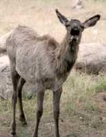 Elk Calf, Jasper National Park CM11-13