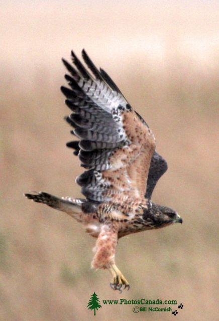 Ferruginous Hawk CMX-003