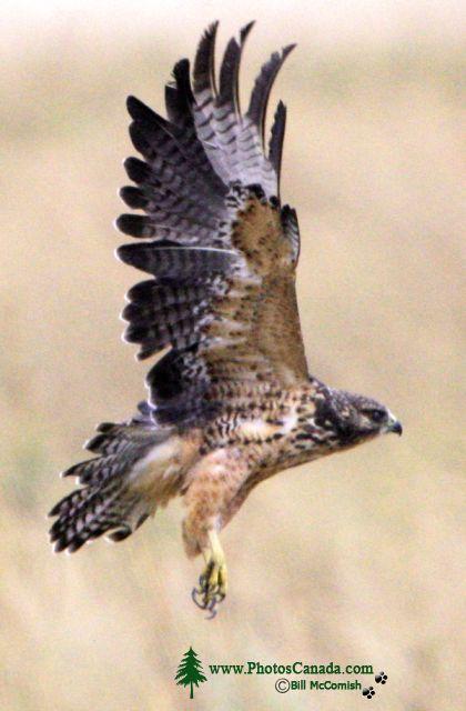 Ferruginous Hawk CMX-004