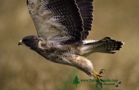 Ferruginous Hawk CMX-005