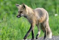 Highlight for Album: Red Fox  Photos, Canadian Wildlife Stock Photos