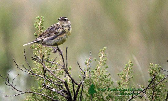 Grasslands National Park Birds, Saskatchewan, Canada CMX-004