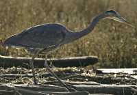 Great Blue Heron CM11-20