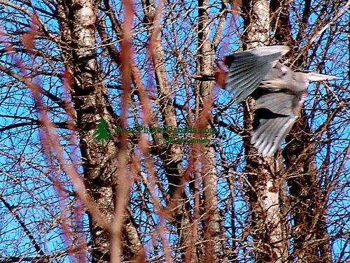 Great Blue Heron 04