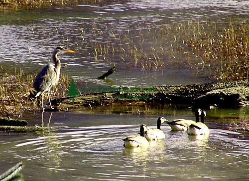 Great Blue Heron 05