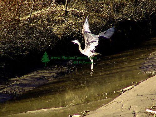 Great Blue Heron 06